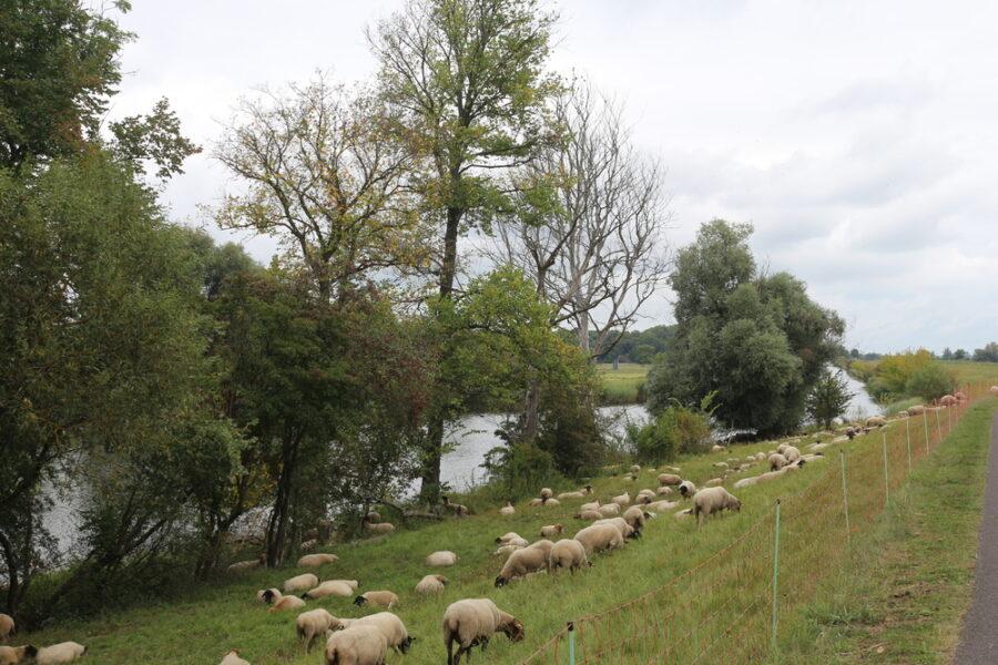Weidende Schafe am Oderdeich